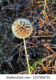 Dried flower in the form of a ball.