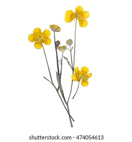 Dried flowers buttercup
