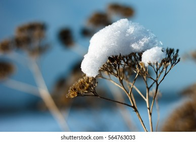 Dried flowers with a cap of snow. Winter mood