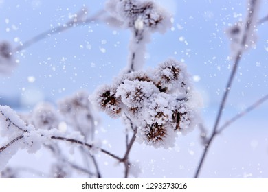 Dried flowers covered with hoar frost. Outdoors, frosty snowy day