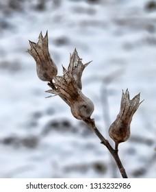 Dried fruits of henbane, Hyoscyamus nнger. Hyoskyamos-hog bean-eaten pig will fall in convulsions, rabid grass (poisoned delirium), Herba Apollinaris (trance of fortune teller). Baleful Weeds Symbol
