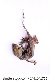 Dried gecko isolated on white background. Dried gecko selling for medical purposes in chinese pharmacy. Traditional in east asia believe that gecko for medicine.