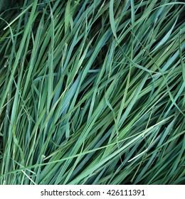 Dried grass of sweetgrass Hierochloe as background