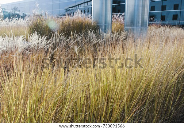 Dried grasses in late fall