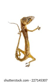 Dried House lizard - gecko isolated on white background,with clipping path.