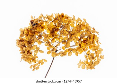 dried hydrangea isolated on white background