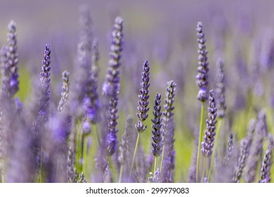 Dried lavender flowers, Cotswolds, England, UK