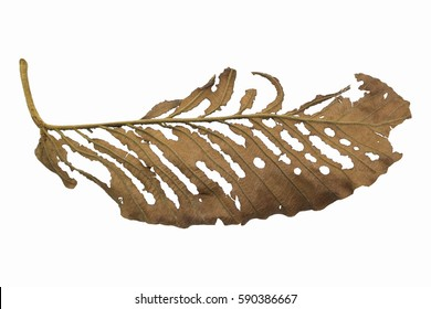 Dried Leaf on isolated.
