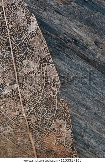 Dried leaf veins skeleton