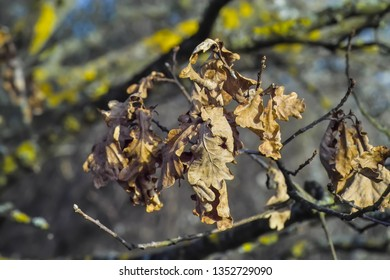 Dried leaves of an English oak, Common oak, Quercus robur, Quercus pendunculata, after winter