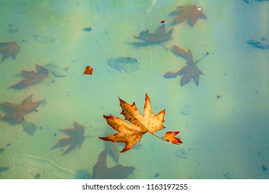 Dried leaves floating on the surface. And some older ones sink in the bottom of the pond.