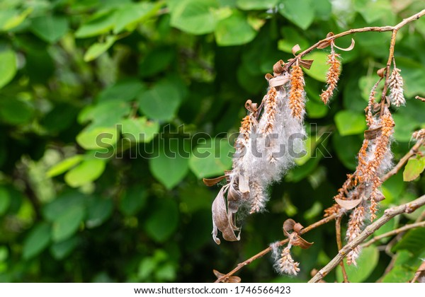 Dried leaves on a broken branch. Old and new. White fluff on seeds. Dry embryos. Green background with leaves.