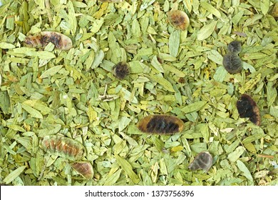 Dried leaves and pods of Senna to make tea to help relieve constipation, promote weight loss
