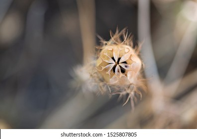 Dried Nigella Seed Pods, Dried Love in a Mist Seed Pods, beige round flower seed pods with delicate dried leaves