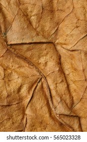 Dried obacco leave with fine visible structure details. Abstract textured background. Close up with very high-res for backgroundsSolonaceae, Nicotiana tabacum