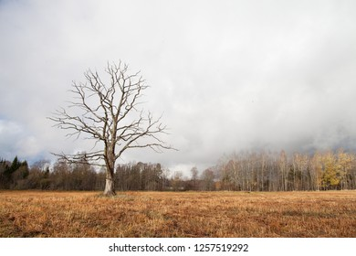 Dried old oak tree in straw stubble field on a cloudy autumn day in Latvia