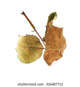 Dried old rose leaf over white isolated background