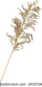 Dried ornamental reed grass. Very high-res. Clean edges, no shadows.