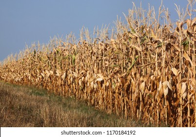 Dried out corn field in Germany