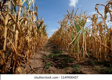 dried out corn plants with yellow leaves in a field in Northern Germany while summer 2018 with extreme high temperatures and lack of rain since several months - wide angle perspective