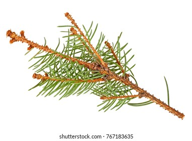 Dried out fir branch after christmas isolated over white background