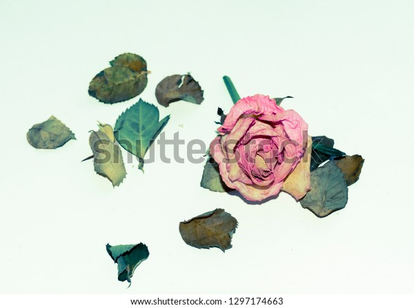 Dried out rose