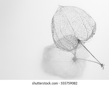 A dried Physalis Alkekengi at winter