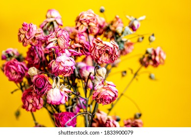 dried pink roses on a yellow background