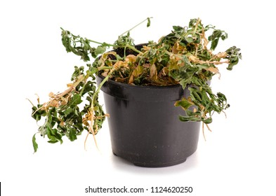 A dried plant in a pot on a white background isolation