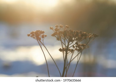 Dried plant at sunset in the village
