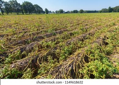Dried potato plants on dutch field in dry summer