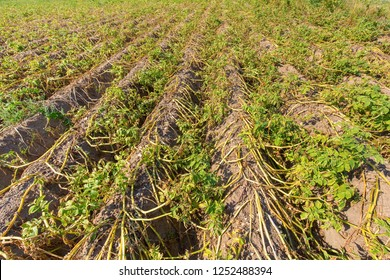 Dried potato plants on dutch agricultural field in dry summer season