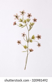 Dried pressed flower
