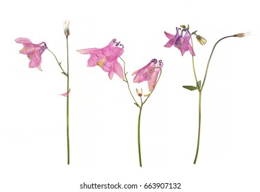 Dried and pressed flowers of a pink Aquilegia vulgaris (Columbine flower) isolated on a white background. Herbarium of spring flowers.