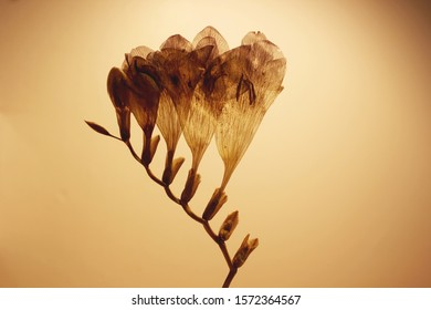 A dried and pressed Freesia flower made translucent with light coming through to see the veins.