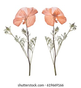 Dried and pressed the spring pink flowers isolated on white background. Herbarium of wild flowers. The front side and the back side.