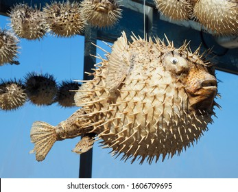 Dried Puffer Fish in Crete Sold as Souveneirs