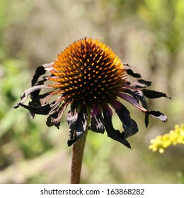 Dried Purple Coneflower Closeup in Late Summer Color Photo