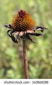 Dried Purple Coneflower in Late Summer Color Photo