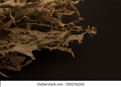 Dried ramalina fraxinea or cartilage lichen closeup background