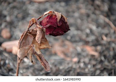 Dried red rose isolated on dark background,Dried red rose isolated on ashes background,dry red rose.bad valentine.