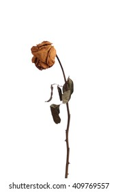 Dried red rose on white background.