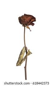 Dried Red Rose on White Background, sad valentine