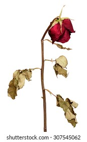 Dried Red roses isolated on a white background.