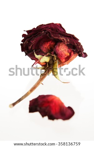 Dried rose against white background