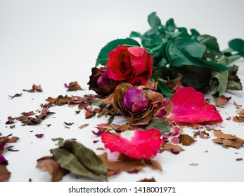 dried rose flower head isolated on white background cutout,  Broken heart, Fresh rose and dried rose