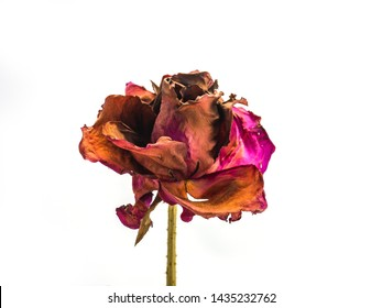 dried rose flower head isolated on white background cutout,  Broken heart