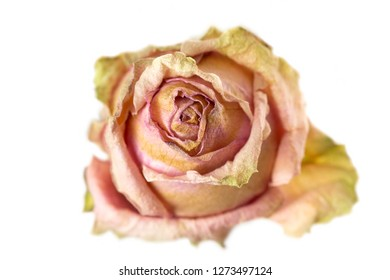 Dried rose head on white background, closeup shot