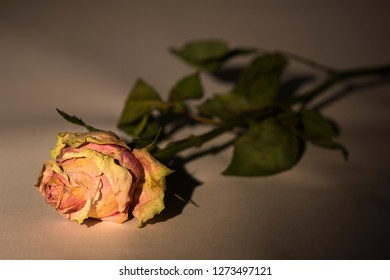 Dried rose lying on a table with bud illuminated