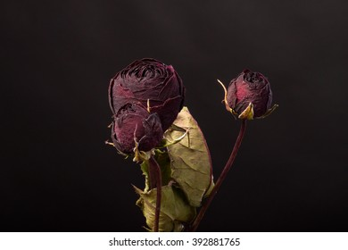 Dried rose on a black background